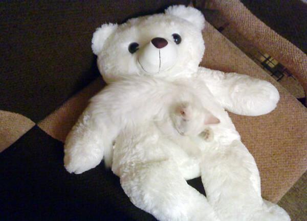 γάτα αρκουδάκι