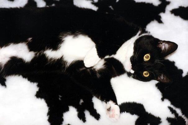 γάτα animal print